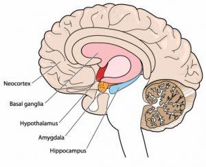 Basic brain facts