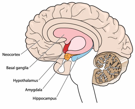 Amygdala Brain Diagram - Auto Electrical Wiring Diagram •